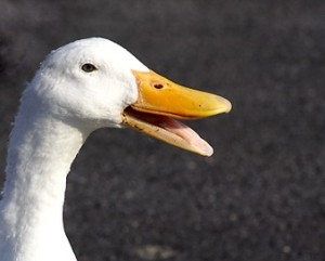 quacking duck